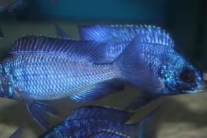 Placidochromis-phenochilus-mdoka