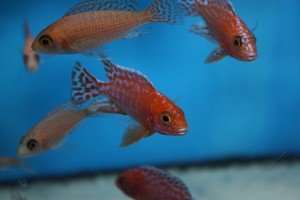 aulonocara-firefish-coral-red