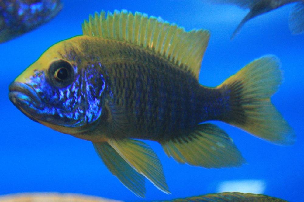 Aulonocara jacobfreibergi undu reef mamelela