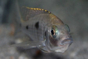 copadichromis-azureus