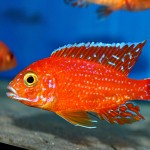 Aulonocara Fire Fish Malawisee Cichliden
